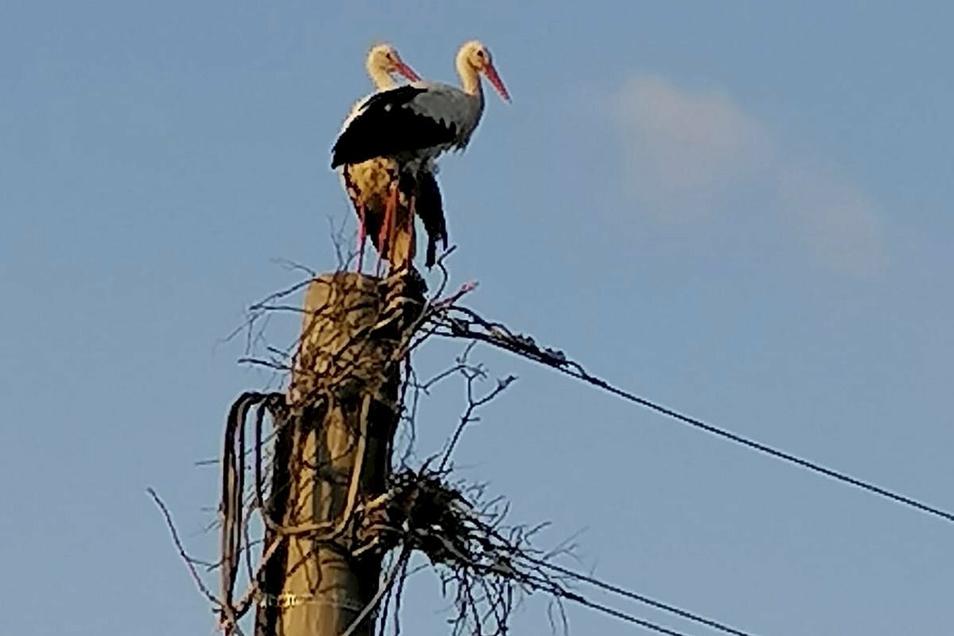 Gefährliche Bautätigkeit: Zwei Störche wollten jetzt in Bretnig zwischen Stromleitungen ihr Nest bauen.