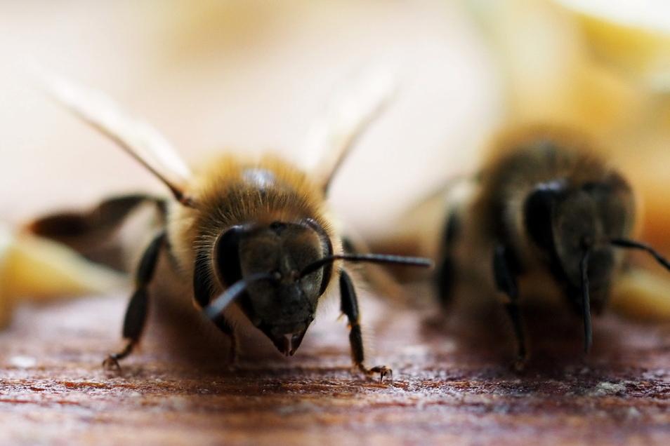 Bienen sind wie in Europa auch für die australische Landwirtschaft sehr wichtig als Bestäuber.