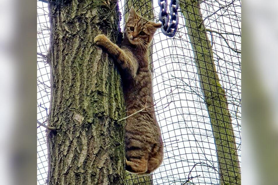 Das Wildgehege Moritzburg hat drei neue Bewohner. Der Ausflug auf einen der Bäume endet unter dem über die Wildkatzenanlage gespannten Netz.