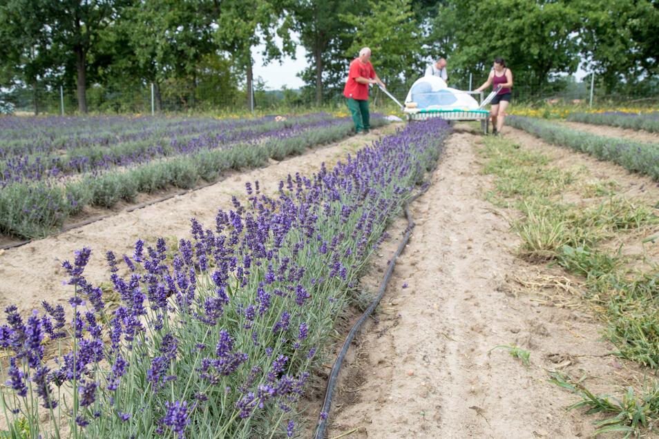 Zwei Hektar groß ist das Lavendelfeld in See, das im Zentrum eines Pilotprojektes steht. Mit ihm soll untersucht werden, ob der Anbau in Zeiten des Klimawandels in unseren Breiten möglich ist.