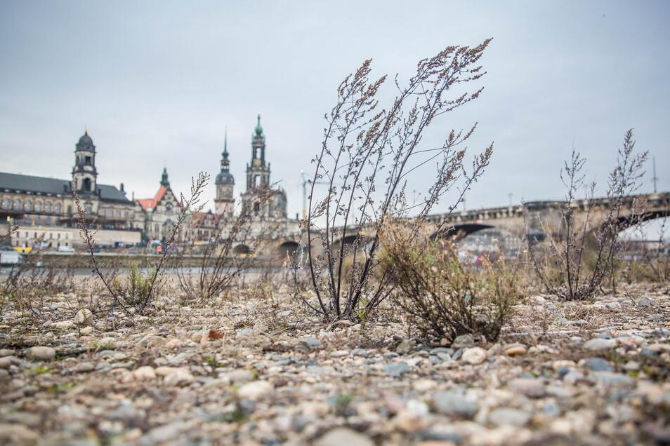 In den vergangenen drei Jahren hat Dresden enorm unter Hitze und Trockenheit gelitten, wie das ausgedorrte Elbufer und der schmale Fluss 2019 zeigen.