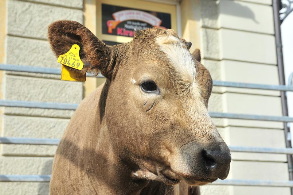 Natürlicher geht es nicht: Auch eine große Tierschau mit Schafen, Ziegen, Geflügel und vielleicht wie hier im Jahr 2019 auch Kühen, wird die Besucher des Marktes am kommenden Wochenende erfreuen.