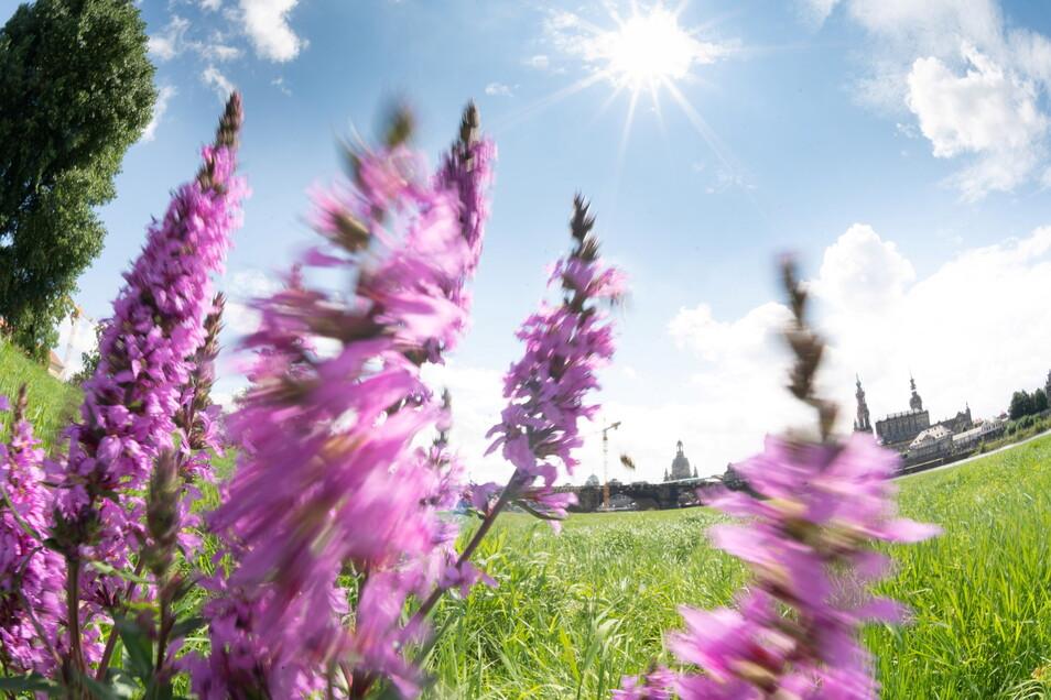 Der Juni war der schönste Sommermonat. zum Leid vieler Dresdner begannen die Ferien deutlich später.