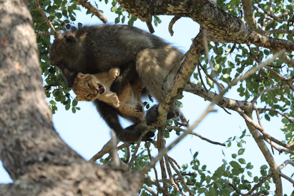 Eine Pavianmutter hat nahe dem Skukuza-Camp im Krüger-Nationalpark ein Löwenbaby auf einen Amarula-Baum entführt.
