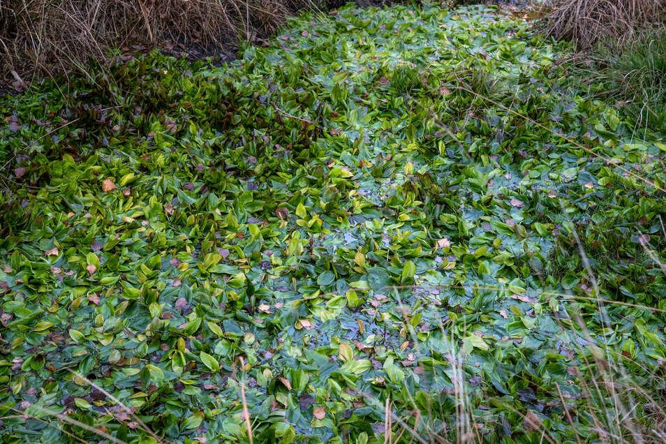 Das Knöterich-Laichkraut ist eine stark gefährdete Art und bevorzugt in Ostdeutschland die Moore bei Radeburg.