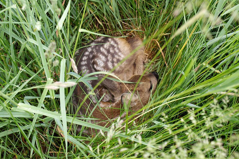 Hohes Gras ist für Ricken das ideale Versteck für ihre neugeborenen Kitze. Doch Felder mit Futtergras stellen durch die Mahd mit großen Maschinen eine tödliche Gefahr für Kitze dar.