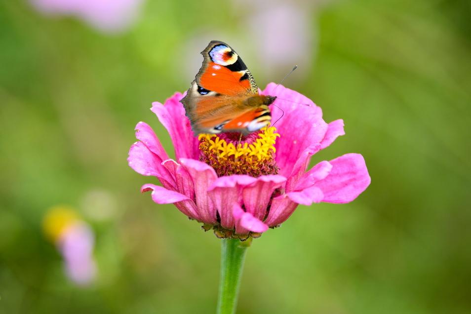 Ein Tagpfauenauge sitzt auf der Blüte einer Zinnie (zinnia elegans). Insekten leiden unter der intensiven Landwirtschaft mehr als unter dem Klimawandel.