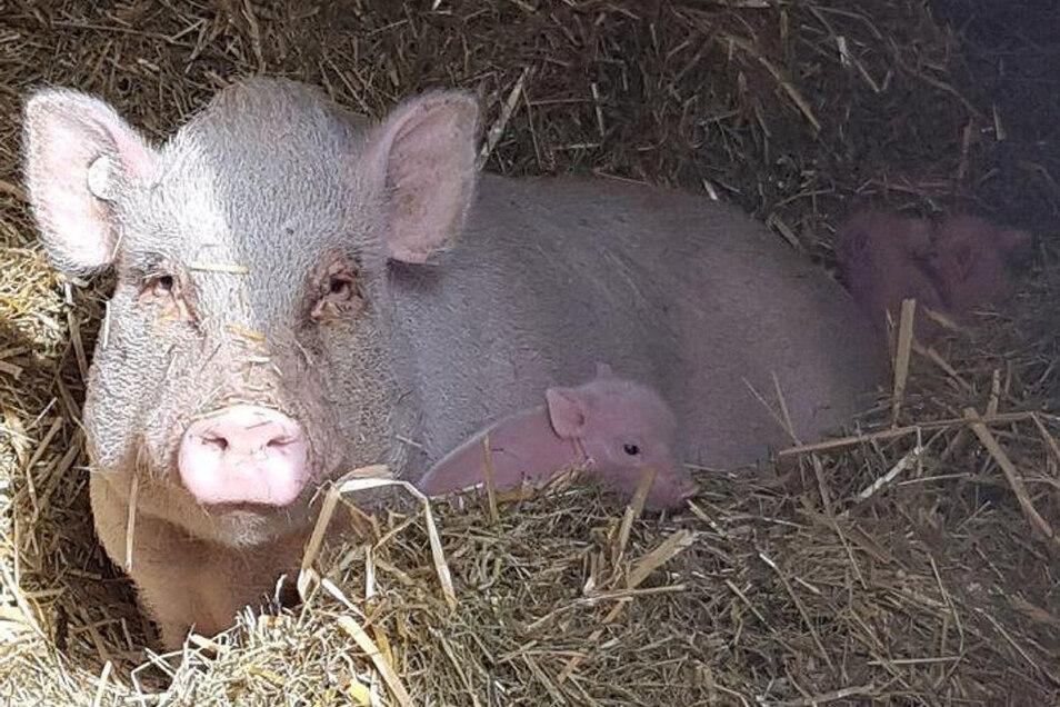 Mini-Schwein Nudossi mit dem Nachwuchs: Auch die Vaterschaft scheint nun geklärt