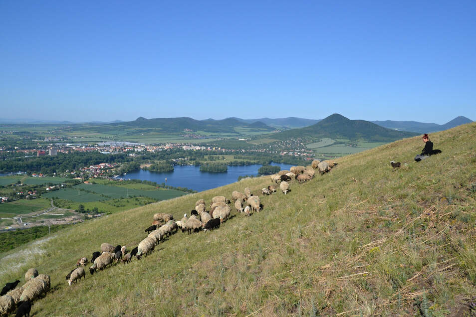 Seit 2018 gehören Schafherden wieder zum Bild des Böhmischen Mittelgebirges. Im Hintergrund die Gipfel Lovoš (Lobosch) und Milešovka (Milleschauer).