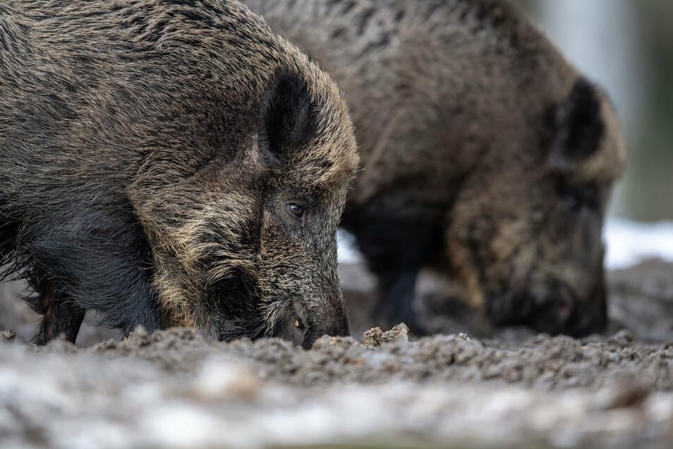 Zwei Wildschweine wühlen bei der Futtersuche mit der Schnauze im Erdboden.