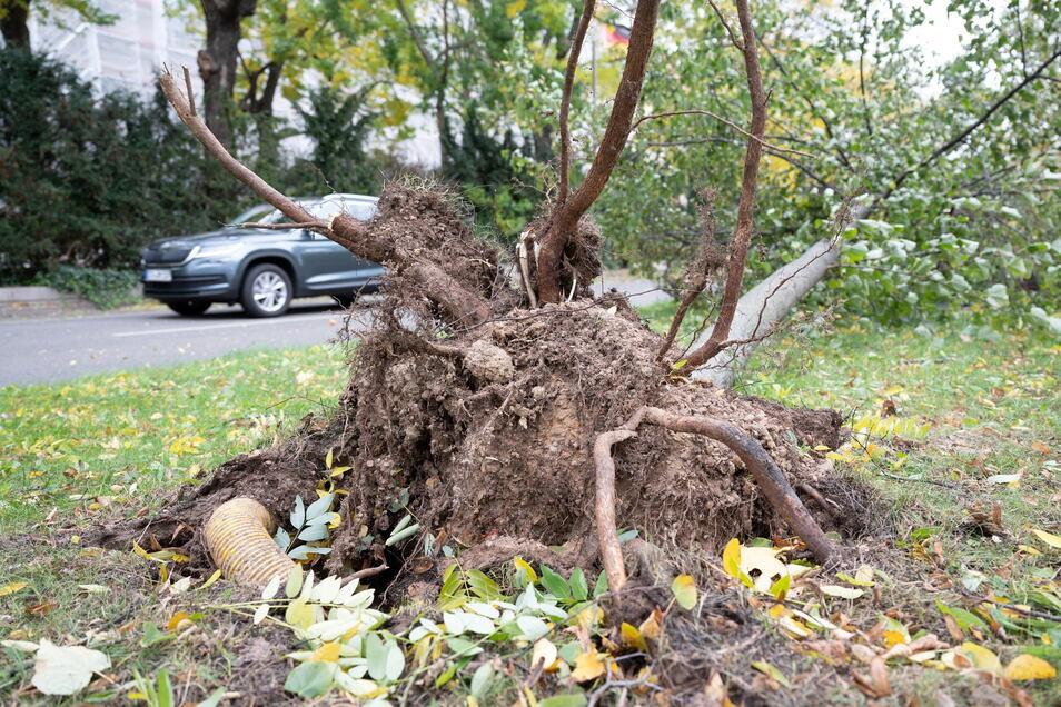 Ein entwurzelter Baum liegt am Dr.-Külz-Ring in Dresden neben der Fahrbahn auf einer Wiese.