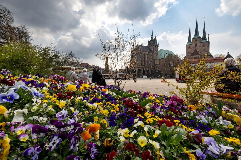 Stiefmütterchen blühen auf einer bepflanzten Insel am Domplatz in Erfurt und sollen für die BUGA werben.