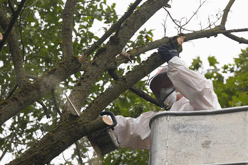 Nur mit Schutzkleidung können kranke Bäume gefällt werden.
