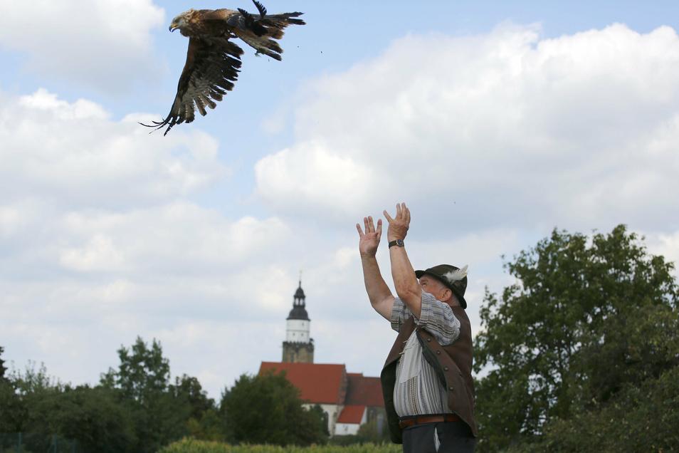 Der Kamenzer Falkner Peter Nitsch entlässt einen Rotmilan nach mehrwöchiger Pflege in die Freiheit. Er hat schon viele Vögel gepflegt.
