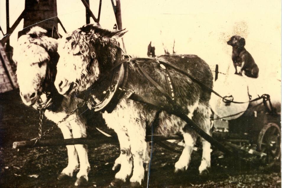 Dieses Eselgespann versorgte die Baude auf der Lausche mit Wasser und Lebensmitteln. Die Esel brauchten keinen Führer, sie kannten den Weg.