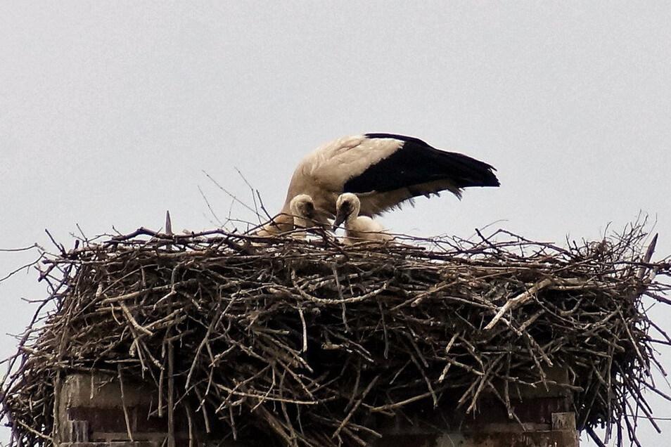 Frank Grunze ist es gelungen, die beiden Jungvögel zu fotografieren.