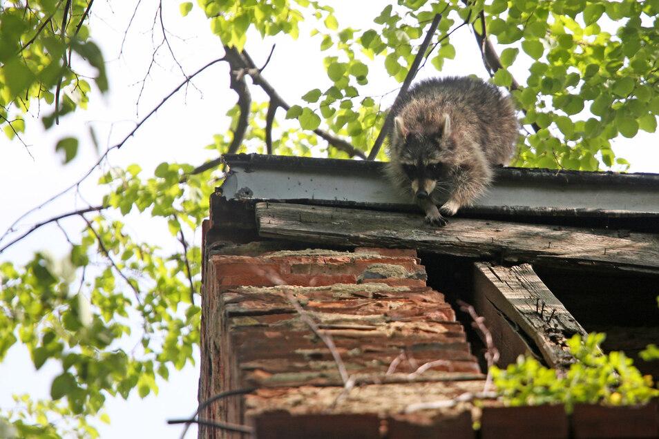 Possierlich, geschickt und unerwünscht: So wie hier auf dem Dach einer alten Brauerei in Riesa werden Waschbären auch in Freital zur Plage.