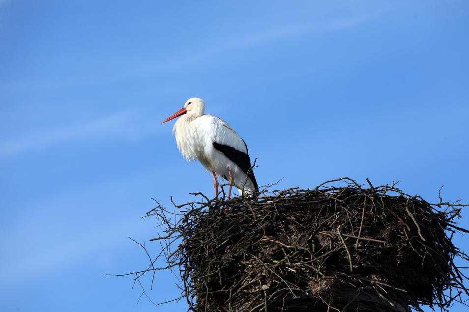Ein Storch steht in seinem Horst.