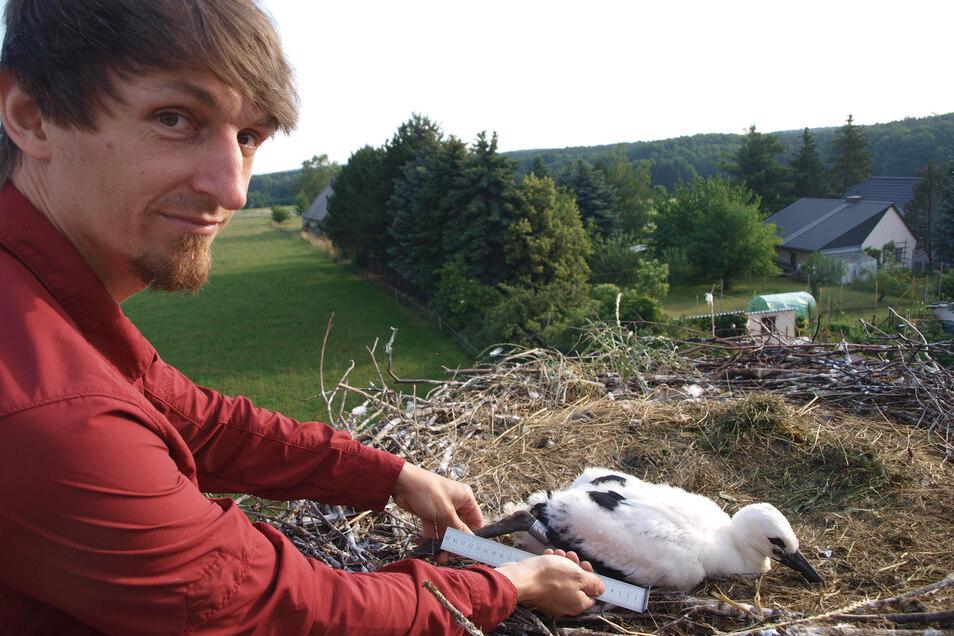 Stefan Siegel von der Naturschutzstation Neschwitz beringte 45 Jungstörche bei einer Nestertour am Freitag, organisiert von der Naturschutzstation Östliche Oberlausitz.