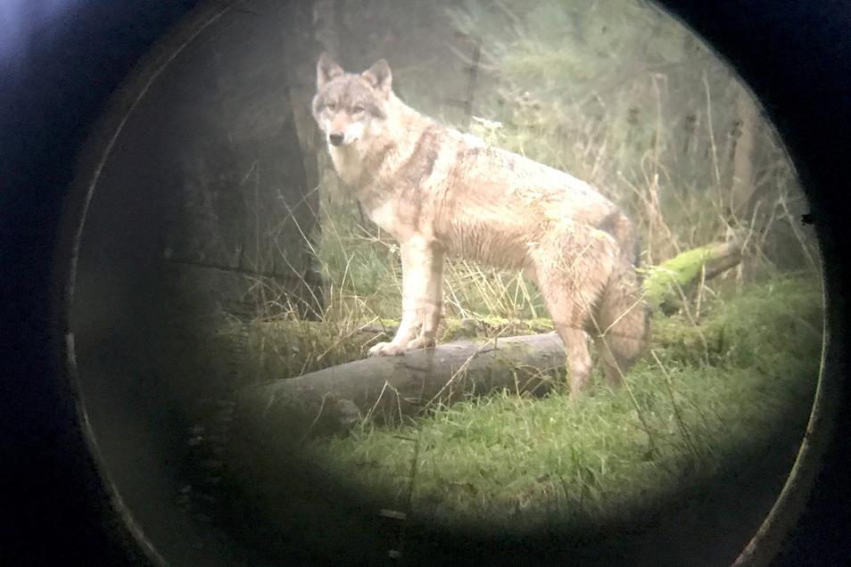 Wölfe im Visier: Ein Projekt zur Besenderung verzögert sich.
