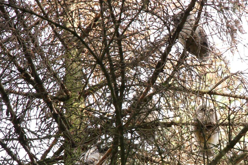 Hier sieht man durch die Kieferäste vier Jungtiere auf dem Baum. Sie haben noch ihr flauschiges Federkleid.