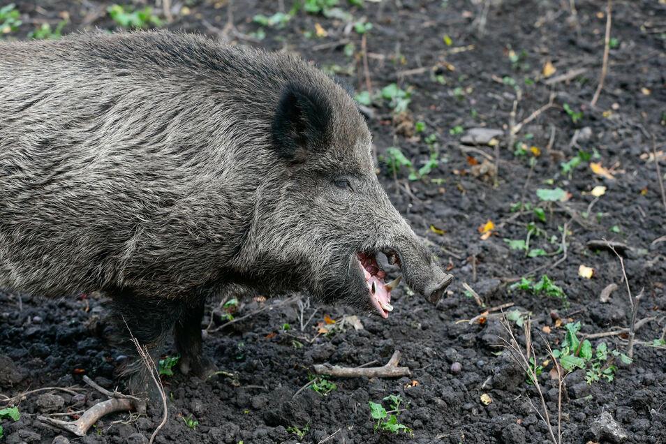 Die Schweinepest breitet sich im Kreis Görlitz immer mehr aus.