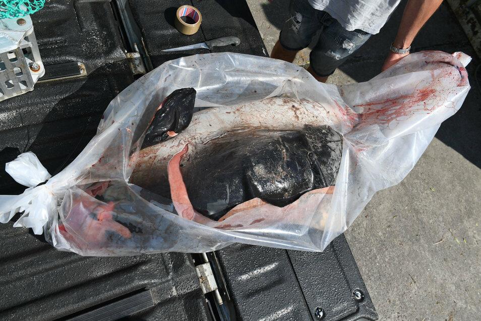 Ein toter Schweinswal liegt auf dem Gelände des Meeresmuseums Stralsund. Auch 2019 gab es wieder viele Totfunde an der Ostseeküste.