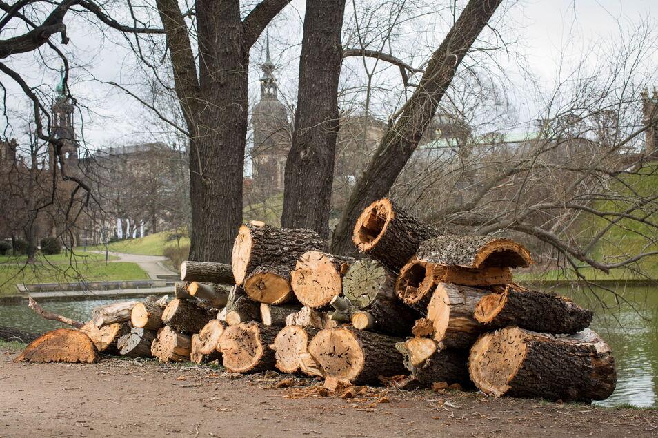 Dicke Holzstämme liegen derzeit im Park am Zwingerteich. Dort und in anderen Bereichen lässt der Schlösserbetrieb neue Bäume pflanzen.
