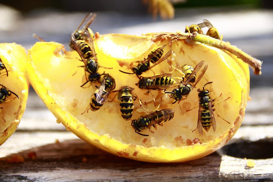 """Ungewöhnlich viele Wespen sind seit Monaten zu beobachten und da nicht nur dort, wo es für sie etwas zu """"naschen"""" gibt."""