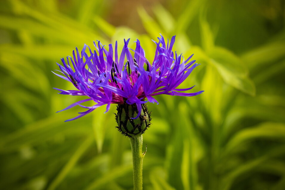 Kornblumen versamen sich bei Katrin Reuter selbstständig. Ringelblumen, Fenchel, selbst Topinambur tun es ihnen gleich.