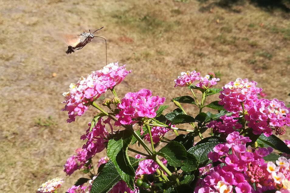 Mit dem langen Rüssel erreicht das Insekt besonders gut den Nektar.