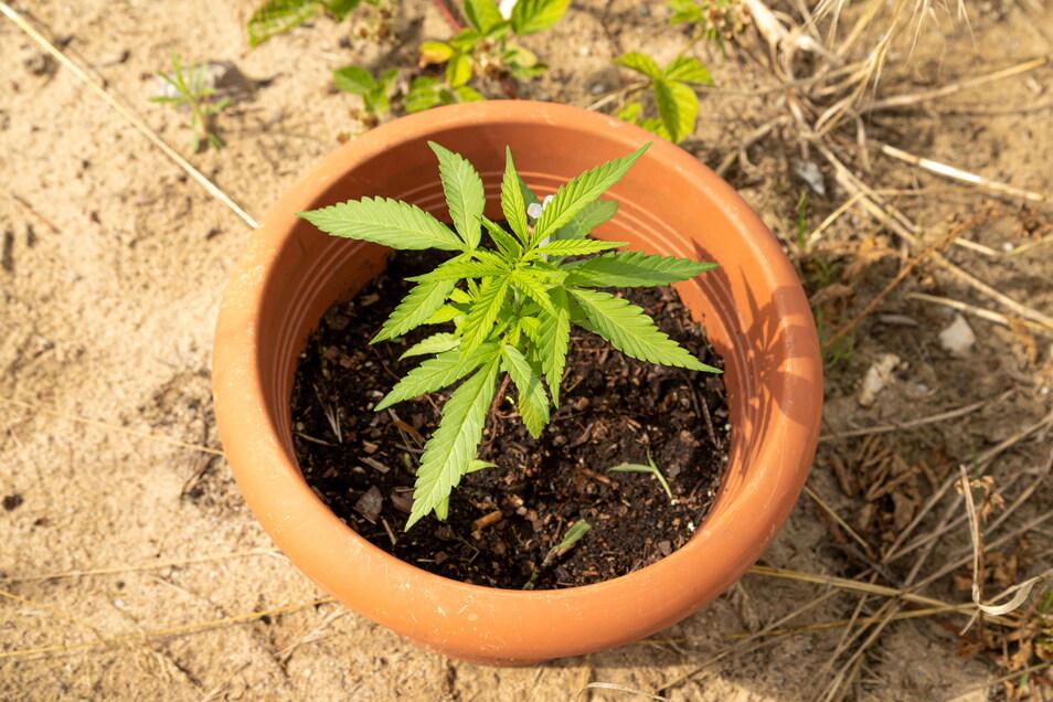 Cannabis, hier in einem der gefundenen Blumentöpfe, ist Rausch- und Heilmittel zugleich.
