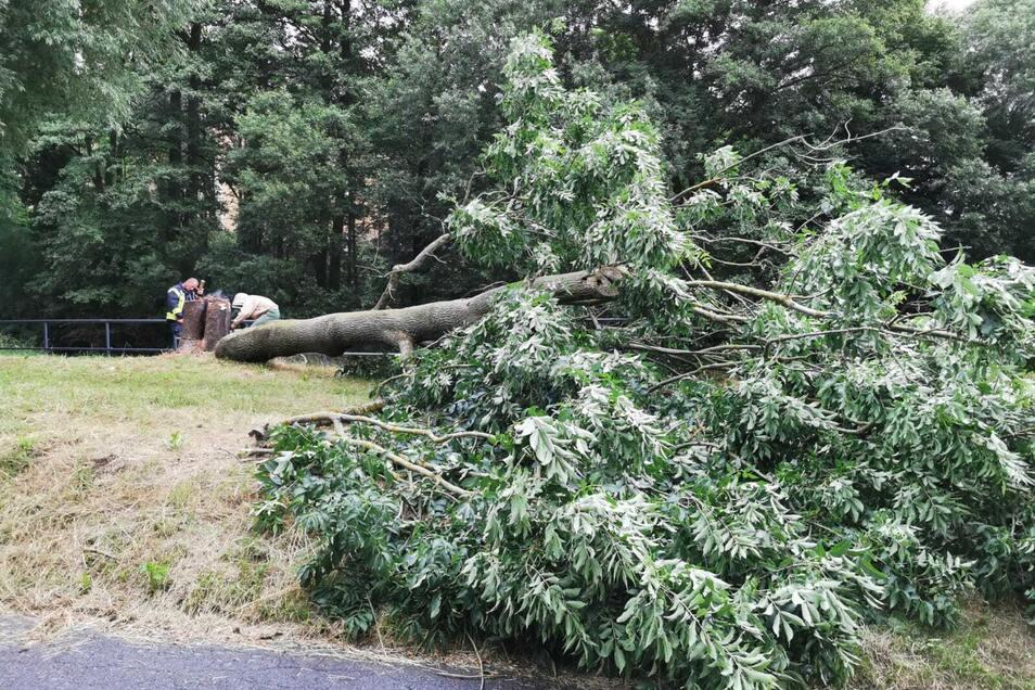 Der Baum an der Pließnitz musste gefällt werden.