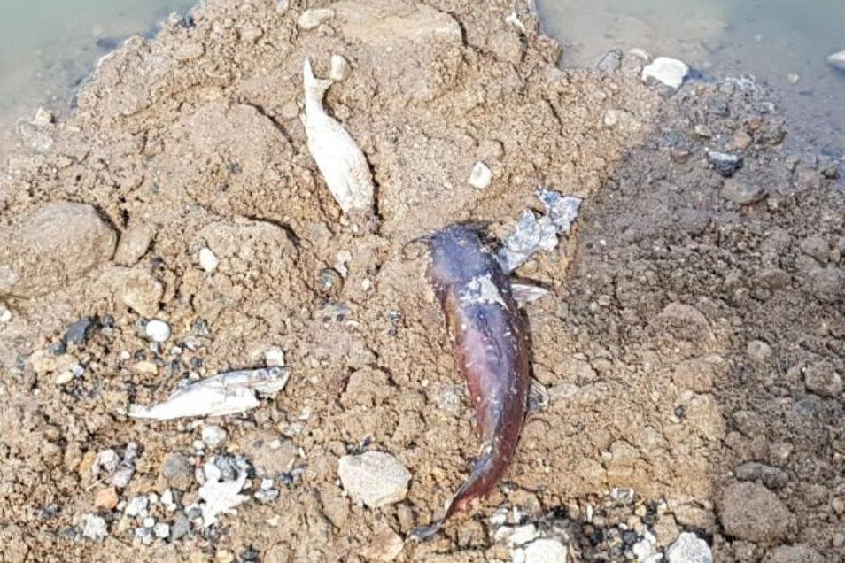 Verendete Fische in der Tongrube Gävernitz. Pro Natura lässt hier ein Biotop für Kammmolche bauen.