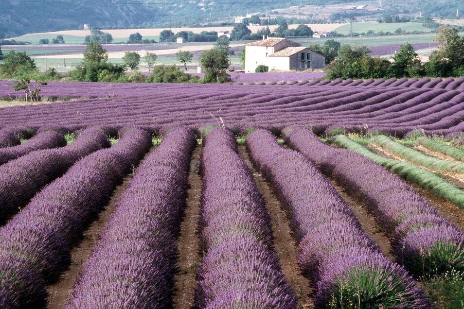 So kennt man es aus der Provence: Blühende Lavendelfelder.