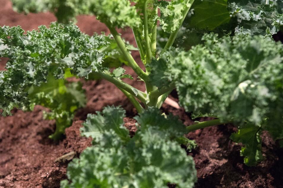 Der Vorteil des Gärtnerns im Winter: Es gibt kaum Schädlinge, wenig Arbeit, aber eine reiche Ernte - etwa bei Winterkohl-Arten wie Grünkohl.