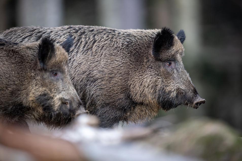 """Die im Waldgebiet """"Birkicht"""" lebenden Schwarzkittel werden auf der Suche nach Futterquellen zunehmend dreister"""