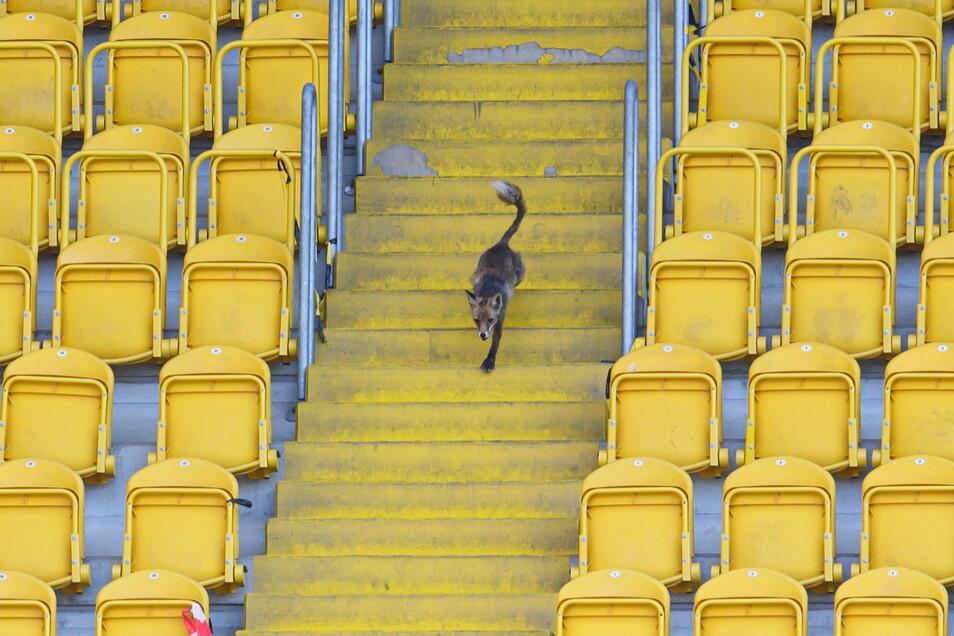 Ein Fuchs hatte sich am Samstag vor dem 2:0-Heimsieg gegen Viktoria Köln ins Stadion verirrt. Ob er auch gegen Türkgücü München vorbeischauen wird, ist unklar.
