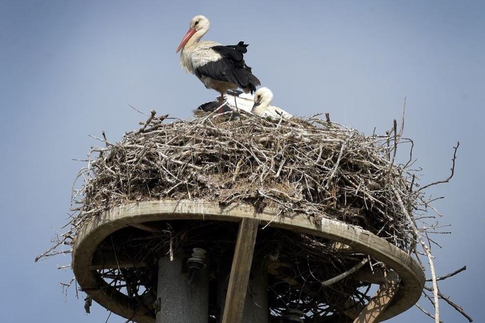 Das Polditzer Storchenpaar hatte 2018 drei Jungtiere, eines lebt jetzt in einem Horst im Jerichower Land. Es war vor drei Wochen aus dem Nest gestürzt.