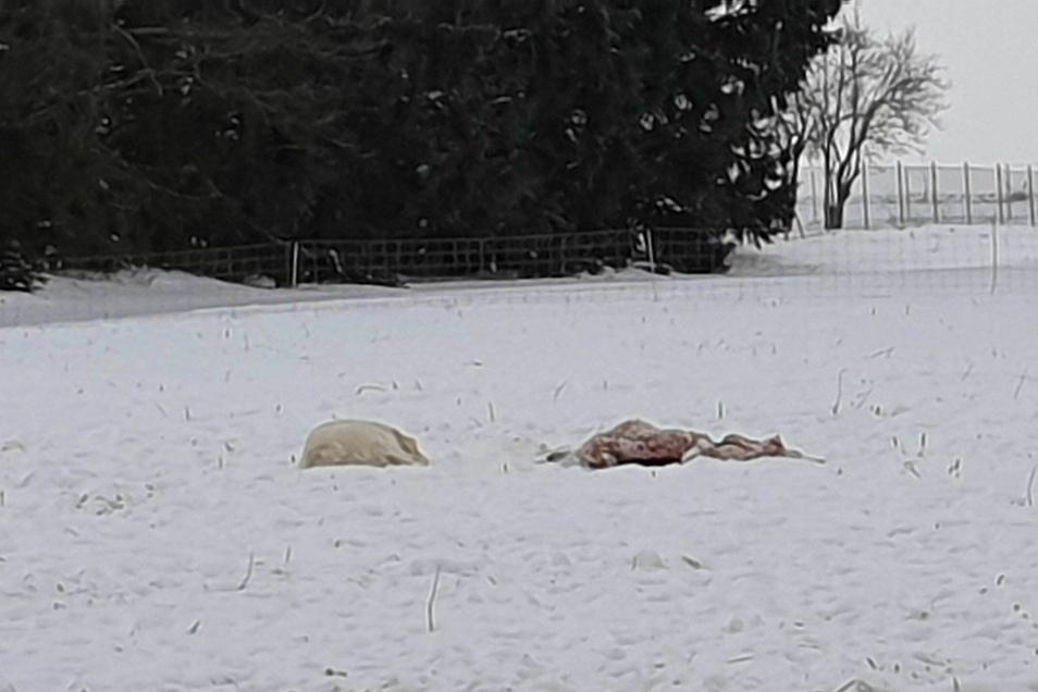 Einer der Herdenschutzhunde bewacht ein offenbar bereits totes Schaf auf der Kunnersdorfer Weide.