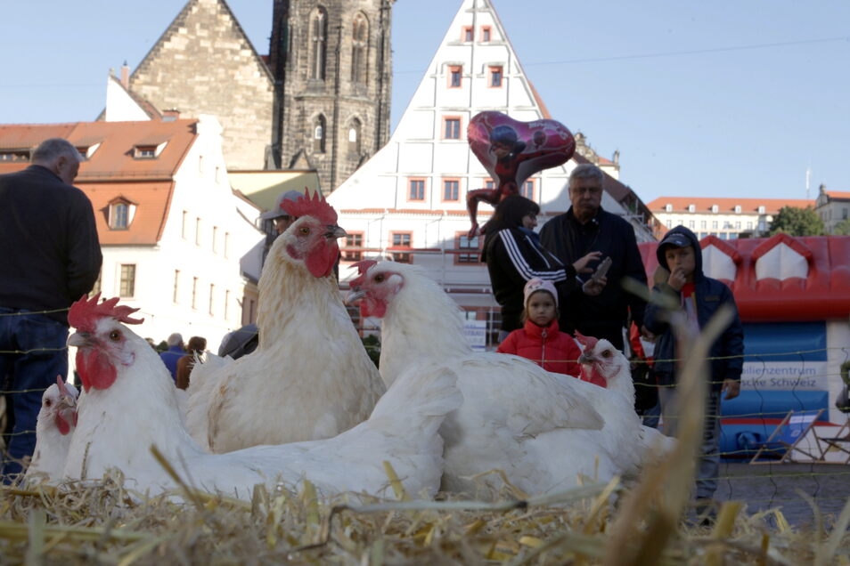 Ein Hahn, zig Hühner, Enten - das Geflügel pickt mitten auf dem Markt in Pirna vor dem Rathaus im Stroh.