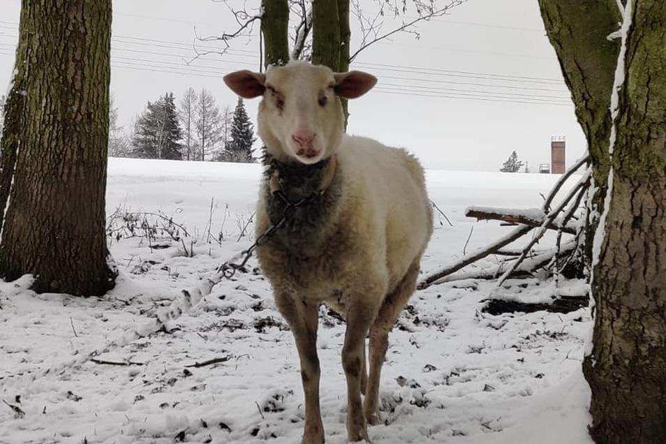 Eines der Schafe war geschoren - unüblich im Winter.
