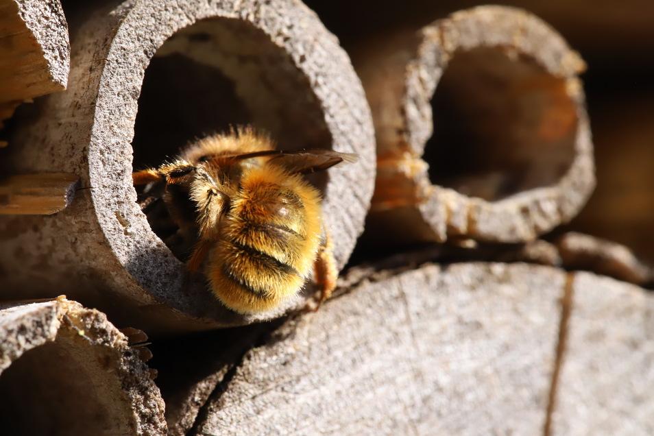 Wilde Blumen und Wildbienen: so wird und bleibt der Garten gesund.