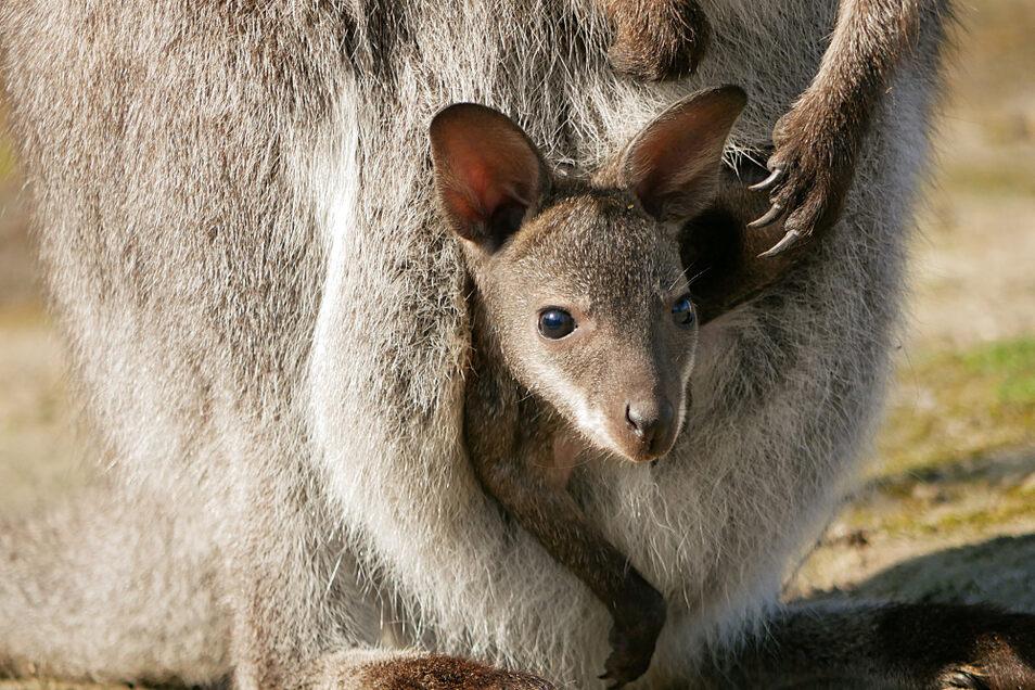 Das Känguru-Baby in Hoyerswerda beobachtet das Geschehen aufmerksam. Auch in Weißwasser hat sich in den Beuteln was getan.