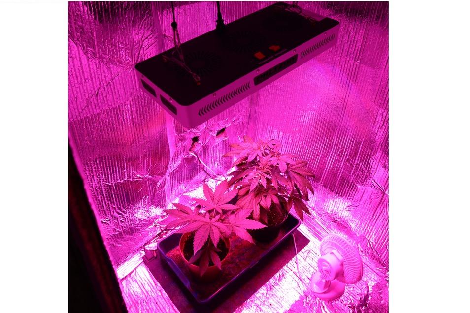 Eine solche kleine Cannabis-Aufzuchtstation hatte das Görlitzer Pärchen. Diese hier wurde erst am Freitag in einer anderen Wohnung in Görlitz gefunden.