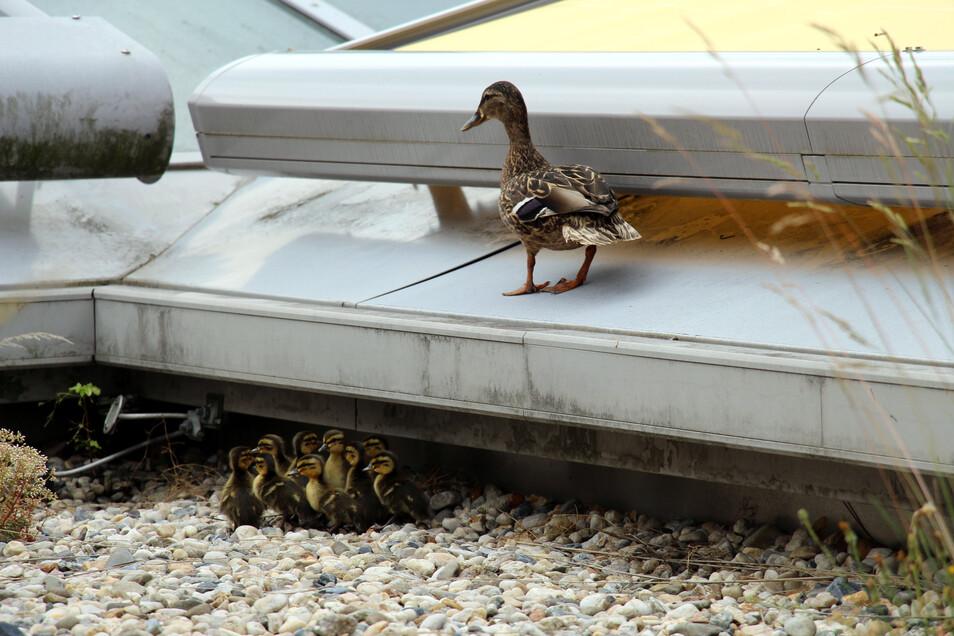 Entenfamilie auf dem Klinikdach: Quartier mit Bedacht gewählt, aber etwas Wichtiges übersehen.