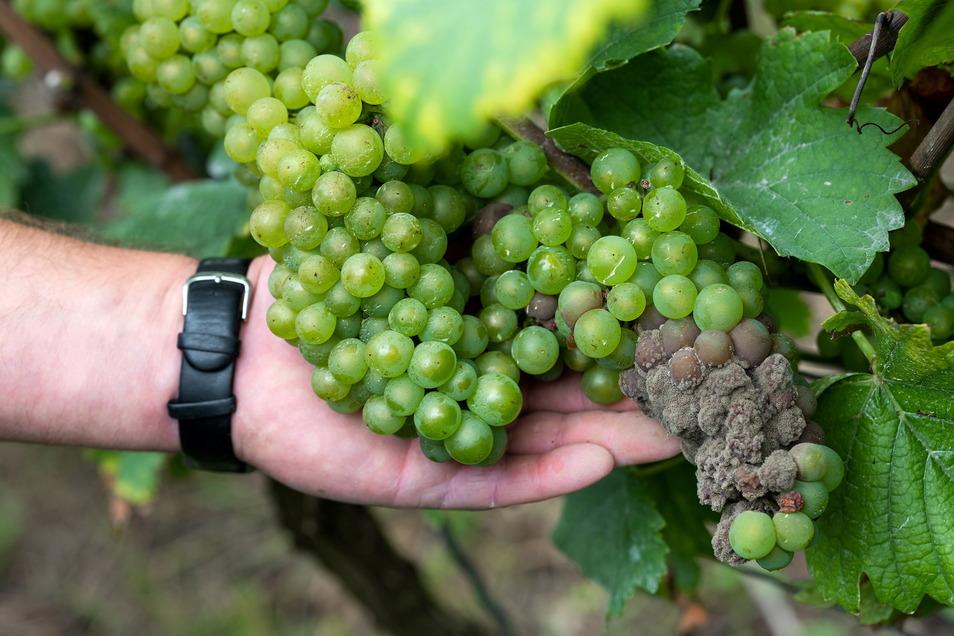 Wegen der Nässe im Sommer haben die Winzer im Elbtal in diesem Jahr mit der Beerenfäule zu kämpfen.