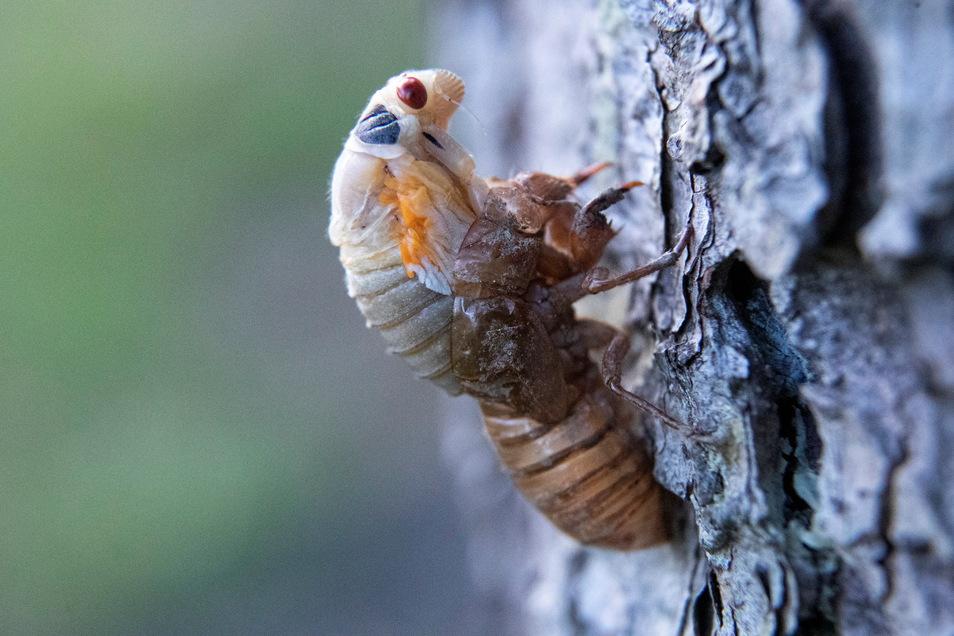 USA, Lutherville-Timonium: Eine Zikade versucht, sich von ihrer Nymphenhülle zu befreien.