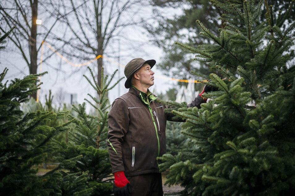Diese Woche beginnt Andreas Heyde in Deutsch Paulsdorf mit dem Schlagen der Weihnachtsbäume.