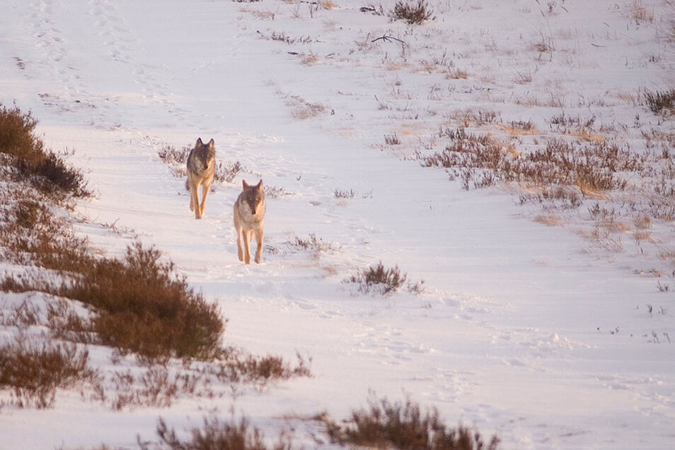 Ein typisches Bild: Wölfe aus der Ferne beobachtet und fotografiert, das ist wahrscheinlicher, als die Nahaufnahme von den scheuen Tieren.